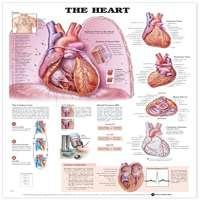 Heart Anatomy Chart Manufacturers