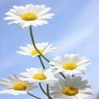 Daisy Flower Manufacturers