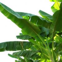 Banana Leaves Manufacturers