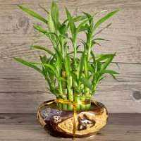 Bamboo Plants Manufacturers