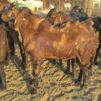 Sirohi Goats Manufacturers