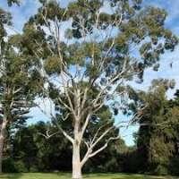 Eucalyptus Plant Manufacturers