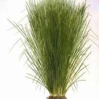 Vetiver Grass Manufacturers