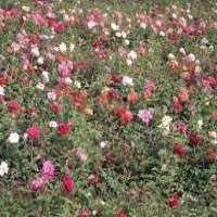 Polyanthus Rose Plants Manufacturers