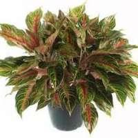 Aglaonema Plant Manufacturers