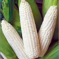 White Maize Manufacturers