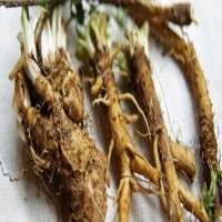 Chicory Roots Manufacturers
