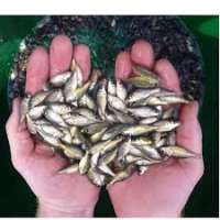 Fish Seeds Importers