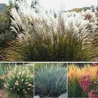 Ornamental Grasses Manufacturers