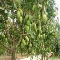 Mango Plant Manufacturers