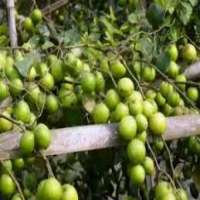Apple Ber Plants Manufacturers