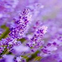 Lavender Flower Manufacturers