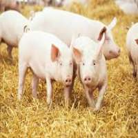 Farm Pig Manufacturers