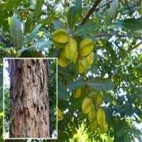Arjuna Tree Manufacturers