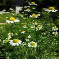 Chamomile Flower Manufacturers