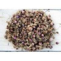 Garlic Seeds Importers