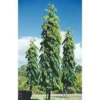 Ashoka Tree Manufacturers