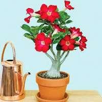Adenium Plant Manufacturers