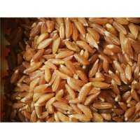Khapli Wheat Manufacturers
