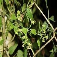 Rubia Cordifolia Manufacturers