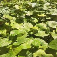 Herbal Plant Manufacturers