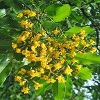 Pterocarpus Marsupium Manufacturers