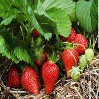 Strawberry Plants Manufacturers