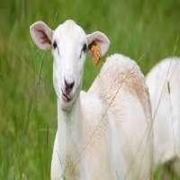 Farm Animals Manufacturers