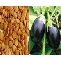 Brinjal种子 制造商