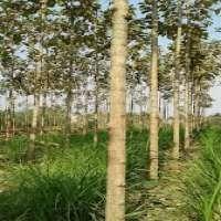Tissue Culture Teak Plants Manufacturers