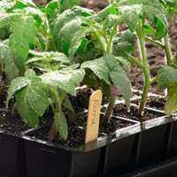 番茄幼苗 制造商