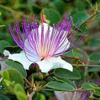 Capparis Spinosa Importers