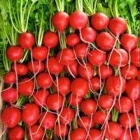 萝卜种子 制造商