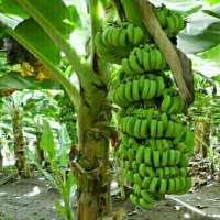 Banana Plant Manufacturers