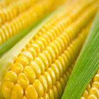 Organic Sweet Corn Manufacturers