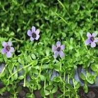 Bacopa Moniera Manufacturers