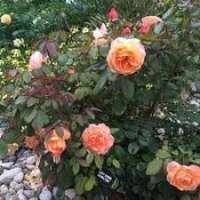Hybrid Tea Rose Plant Manufacturers