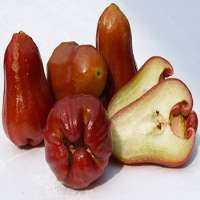 玫瑰苹果 制造商
