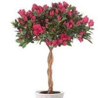 Azalea Tree Manufacturers