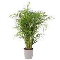 Areca Palm Manufacturers