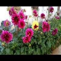 Dahlia Plant Manufacturers