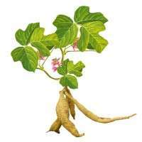 Kudzu Root Extract Manufacturers