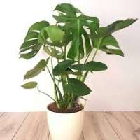Monstera Plant Manufacturers