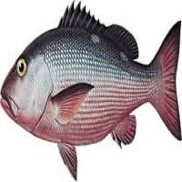 Snapper Fish Manufacturers