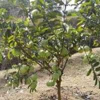 Guava Plants Manufacturers