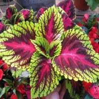 Coleus Forskohlii Root Extract Manufacturers