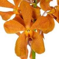 Mokara Orchids Manufacturers