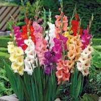 Gladiolus Flower Manufacturers