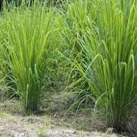 Lemongrass Manufacturers