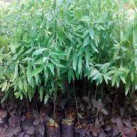 Sandalwood Plant Manufacturers
